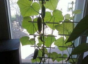 Выращивание огурцов зимой на подоконнике