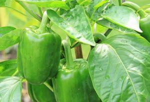 Выращивание перца чили в теплице: советы и рекомендации