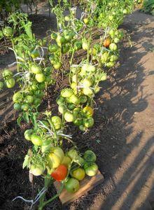 Выращивание помидор без рассады