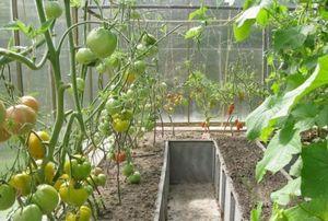 Выращивание помидор в теплице - от посадки до ухода