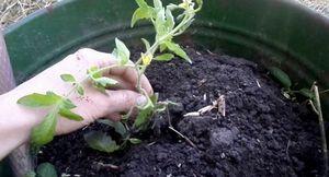 Выращивание помидоров в бочке – от посадки до ухода