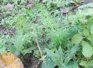 Выращивание пряных трав в теплице: мелисса, кинза, базилик, петрушка, укроп