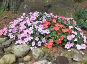Выращивание рассады бальзамина садового в теплице: правила и советы