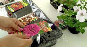 Выращивание рассады цинии для сада