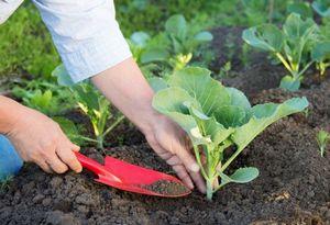 Выращивание рассады капусты разных видов