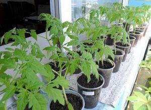 Выращивание рассады лучших сортов помидор в домашних условиях
