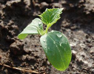 Выращивание рассады огурцов: подготовка и способы посадки семян