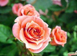 Выращивание роз в саду - посадка и уход за королевой цветов