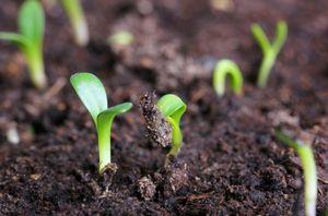Выращивание розы из семян: правила подготовки и посадки семян