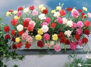 Выращивание садовой гвоздики в теплице: сорта, посадка, уход