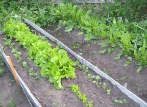 Выращивание щавеля в теплице на продажу: выбор сорта, посадка и уход