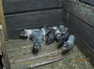Выращивание свиней на приусадебных участках