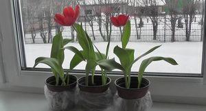 Выращивание тюльпанов в домашних условиях: советы и правила