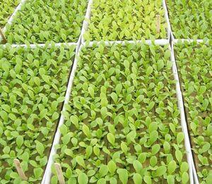 Выращивание тыквы в теплице из поликарбоната