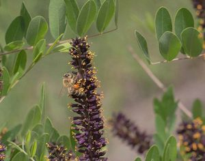 Выращивание, уход и размножение плюща, его использование в народной медицине