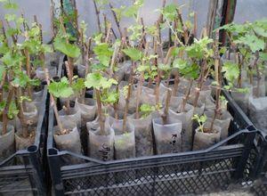 Выращивание винограда в домашней теплице