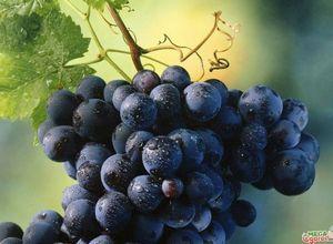 Выращивание винограда в теплице: от посадки до ухода