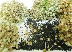 Выращивание зеленого лука на зелень: из семян, луковиц и другие способы