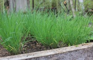 Выращивание зеленого лука: секреты хорошего урожая