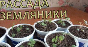 Выращивание земляники без пересадки