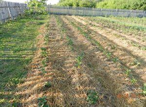Выращивания картофеля: 6 альтернативных способов