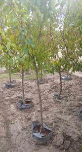 Заботимся о штамбе плодового дерева