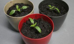 Зачем нужна пикировка растений и как ее делать
