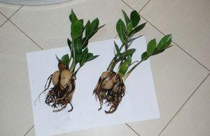 Замиокулькас - долларовое дерево у вас дома