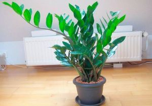 Замиокулькас – долларовое дерево: уход и содержание