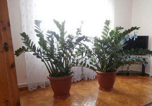 Замиокулькас - красивый и неприхотливый комнатный цветок