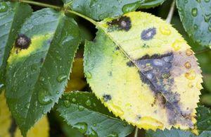 Защищаем репу от вредителей и болезней