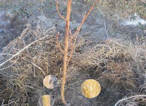 Защита деревьев в саду от мороза