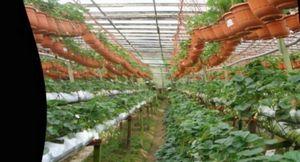 Земляника в теплице круглый год: технология выращивания