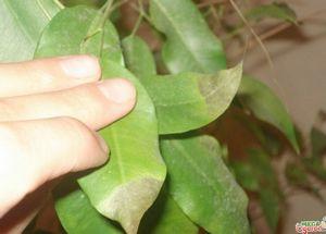 Зигаденус: правила выращивания, ухода и особенности растения